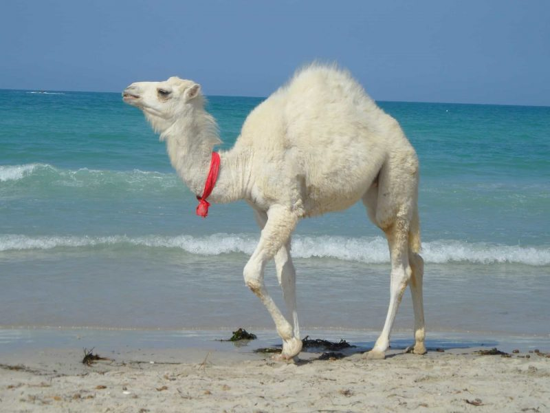 Camel 1203174 1920